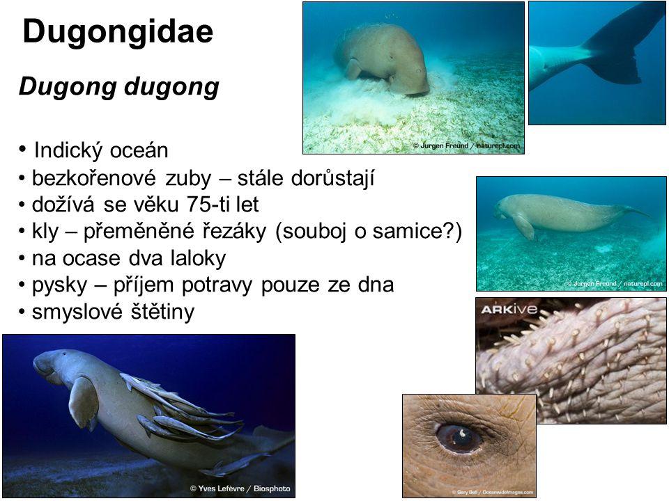 Dugong dugong Indický oceán bezkořenové zuby – stále dorůstají dožívá se věku 75-ti let kly – přeměněné řezáky (souboj o samice?) na ocase dva laloky