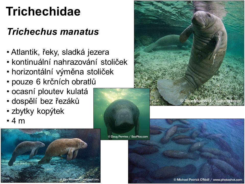 Trichechus manatus Atlantik, řeky, sladká jezera kontinuální nahrazování stoliček horizontální výměna stoliček pouze 6 krčních obratlů ocasní ploutev