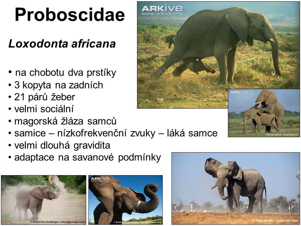 Proboscidae Loxodonta africana na chobotu dva prstíky 3 kopyta na zadních 21 párů žeber velmi sociální magorská žláza samců samice – nízkofrekvenční z