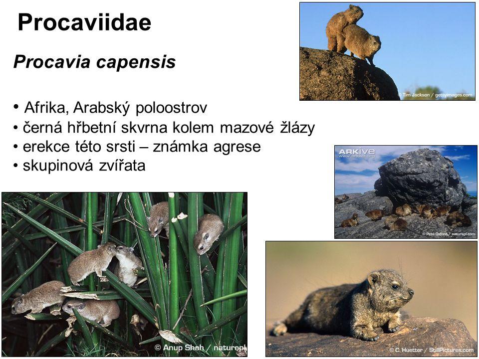 Procaviidae Procavia capensis Afrika, Arabský poloostrov černá hřbetní skvrna kolem mazové žlázy erekce této srsti – známka agrese skupinová zvířata