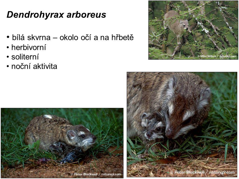 Dendrohyrax arboreus bílá skvrna – okolo očí a na hřbetě herbivorní soliterní noční aktivita