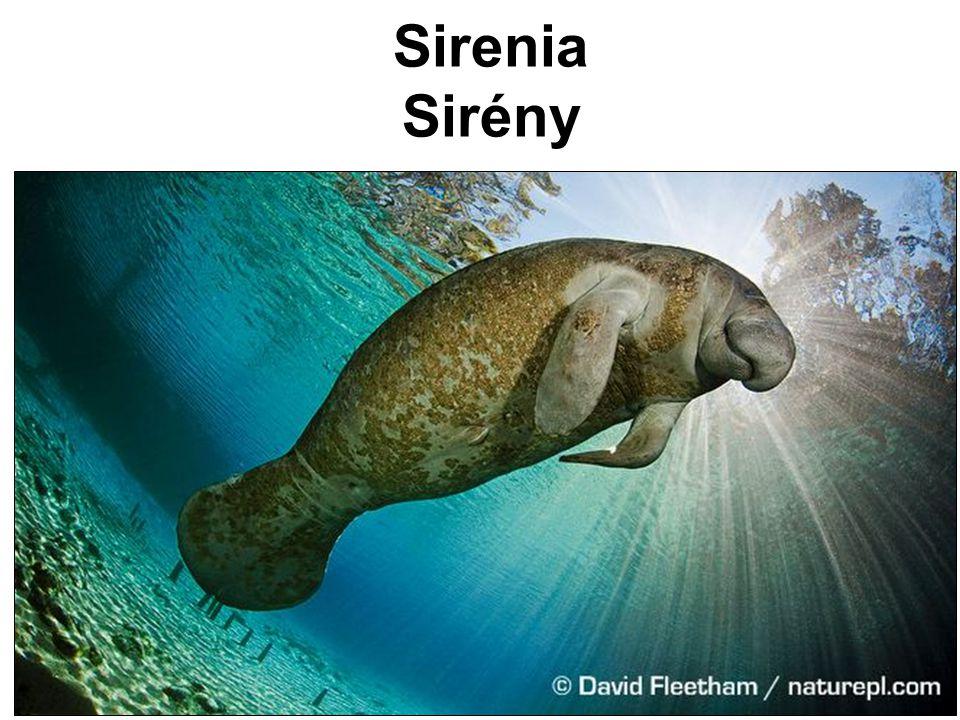 Sirenia Sirény
