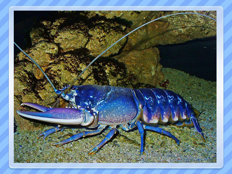 Další… HUMR - loveni pro gastronomii - noční živočich – kořist drtí obrovskými klepety