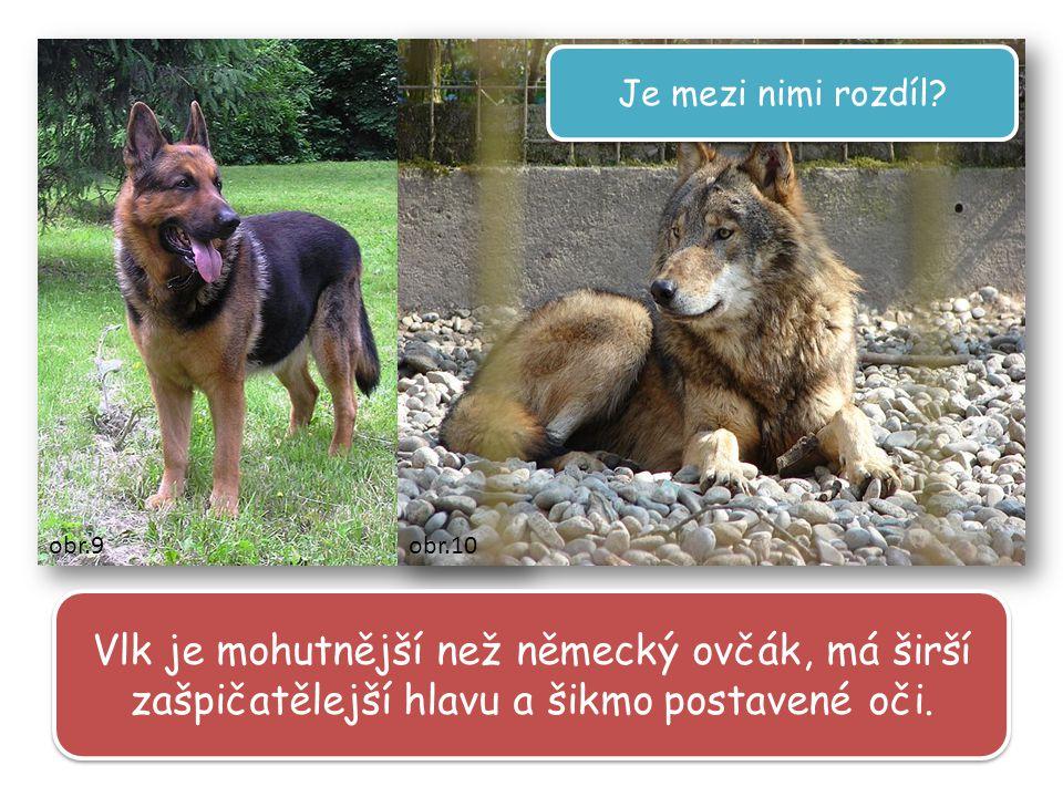 Vlk je mohutnější než německý ovčák, má širší zašpičatělejší hlavu a šikmo postavené oči.