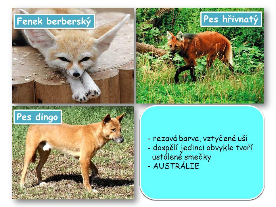 Pes hřivnatý Fenek berberský Pes dingo - velké ušní boltce (délka až 15 cm) - velmi jemný sluch - ušní boltce mu pomáhají ochladit se - důležitým smyslem je zrak, fenci vidí velmi dobře i v šeru - AFRIKA - velké ušní boltce (délka až 15 cm) - velmi jemný sluch - ušní boltce mu pomáhají ochladit se - důležitým smyslem je zrak, fenci vidí velmi dobře i v šeru - AFRIKA - připomíná lišku s dlouhýma nohama a hřívou přes ramena - křovinaté lesy a savany s bažinatým povrchem a bujnou vysokou vegetací - JIŽNÍ AMERIKA - připomíná lišku s dlouhýma nohama a hřívou přes ramena - křovinaté lesy a savany s bažinatým povrchem a bujnou vysokou vegetací - JIŽNÍ AMERIKA - rezavá barva, vztyčené uši - dospělí jedinci obvykle tvoří ustálené smečky - AUSTRÁLIE - rezavá barva, vztyčené uši - dospělí jedinci obvykle tvoří ustálené smečky - AUSTRÁLIE