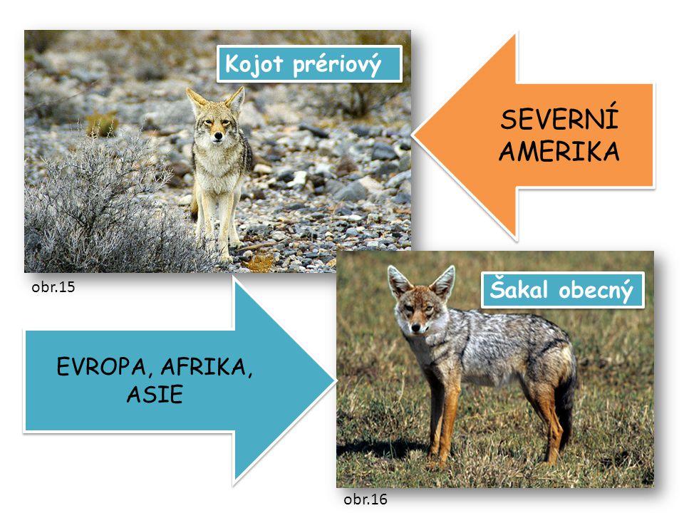 Šakal obecný Kojot prériový SEVERNÍ AMERIKA EVROPA, AFRIKA, ASIE obr.15 obr.16