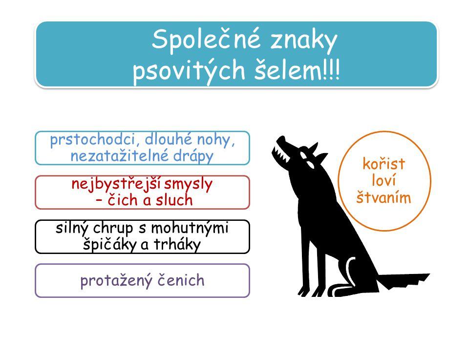 Společné znaky psovitých šelem!!.Společné znaky psovitých šelem!!.