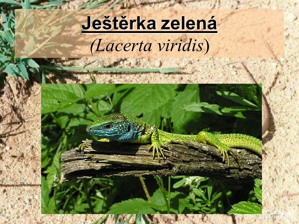 Ještěrka zelená Ještěrka zelená (Lacerta viridis)