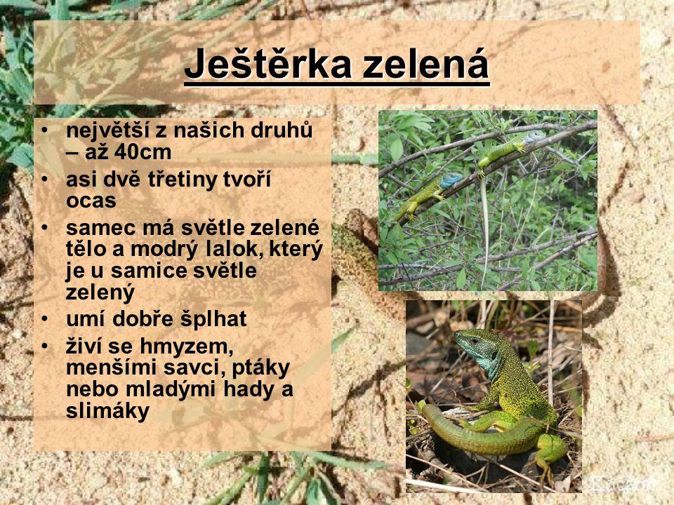Ještěrka zelená největší z našich druhů – až 40cm asi dvě třetiny tvoří ocas samec má světle zelené tělo a modrý lalok, který je u samice světle zelený umí dobře šplhat živí se hmyzem, menšími savci, ptáky nebo mladými hady a slimáky
