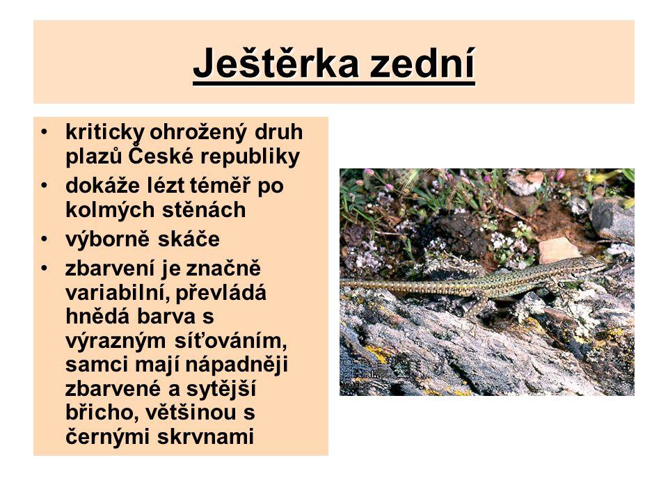 Ještěrka zední kriticky ohrožený druh plazů České republiky dokáže lézt téměř po kolmých stěnách výborně skáče zbarvení je značně variabilní, převládá hnědá barva s výrazným síťováním, samci mají nápadněji zbarvené a sytější břicho, většinou s černými skrvnami
