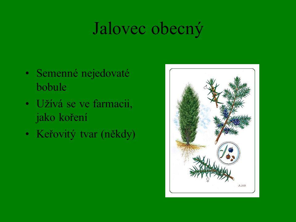 Jalovec obecný Semenné nejedovaté bobule Užívá se ve farmacii, jako koření Keřovitý tvar (někdy)