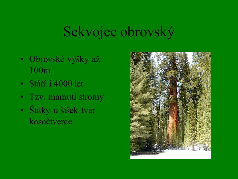 Sekvojec obrovský Obrovské výšky až 100m Stáří i 4000 let Tzv. mamutí stromy Štítky u šišek tvar kosočtverce