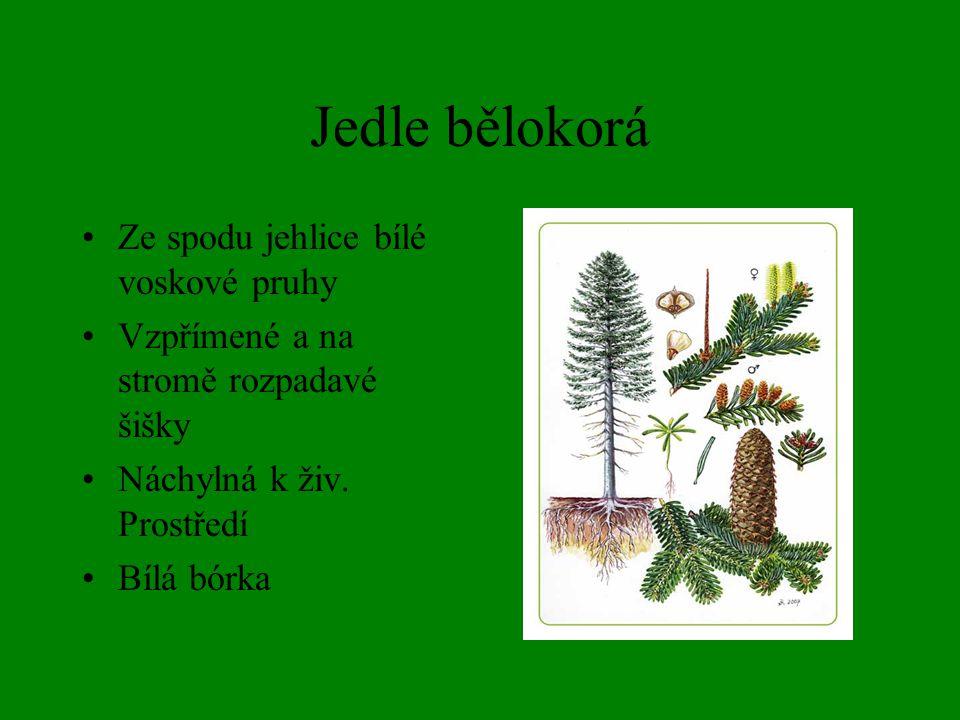 Borovice lesní Hluboký kořen Jehlice ve svazečcích po 2 jehlicích Snese i velké sucho Písčité půdy, skály,…