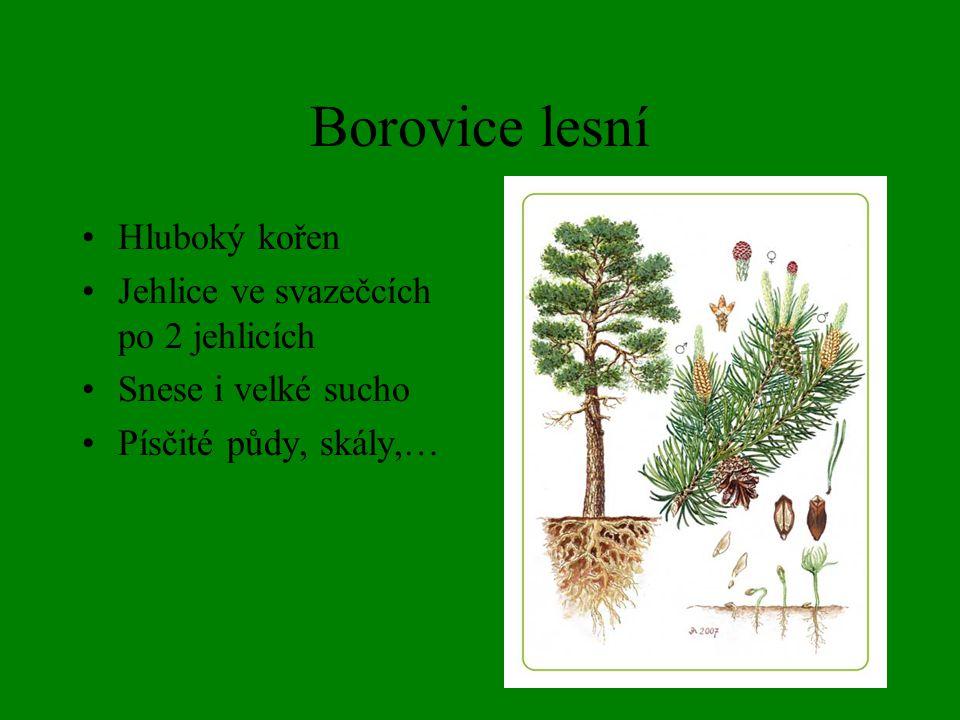 Borovice kleč Keřovitý tvar Velmi odolná Roste v 1000 m n. m. a výše Jehlice po 2
