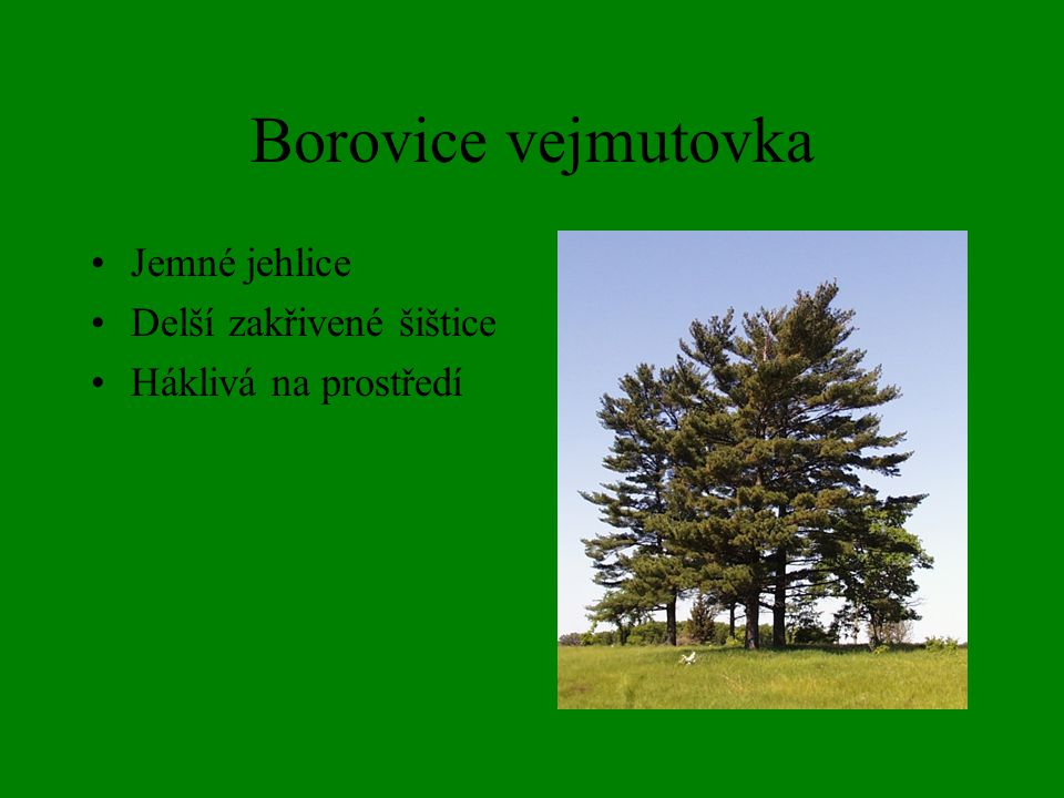 Borovice černá Dlouhé jehlice Nenáročná avšak chce zásadité půdy