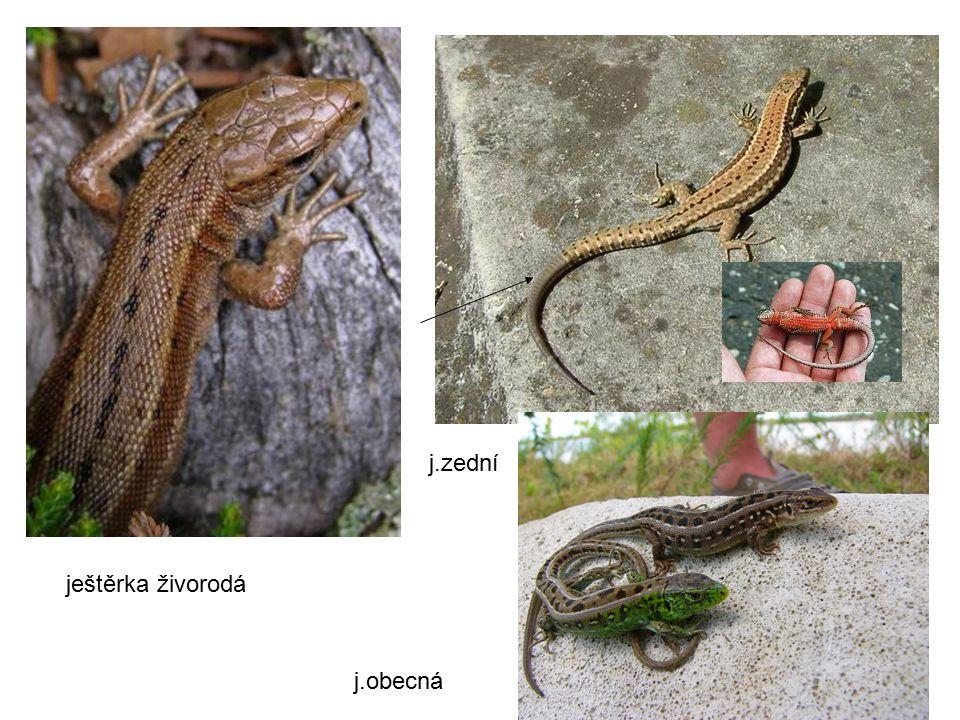ještěrka živorodá j.zední j.obecná