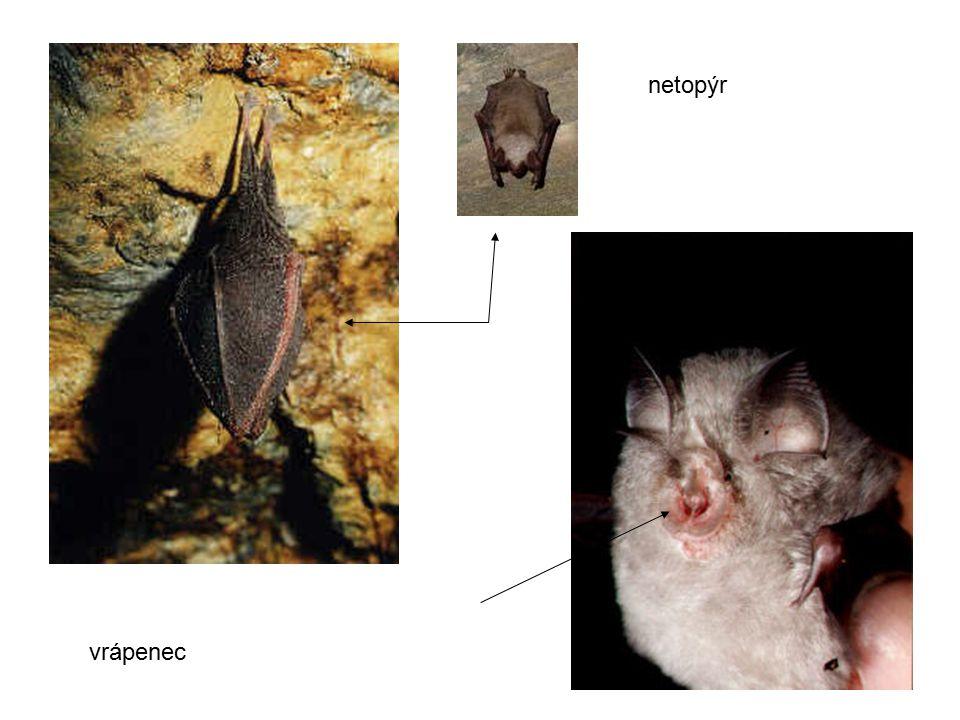 vrápenec netopýr