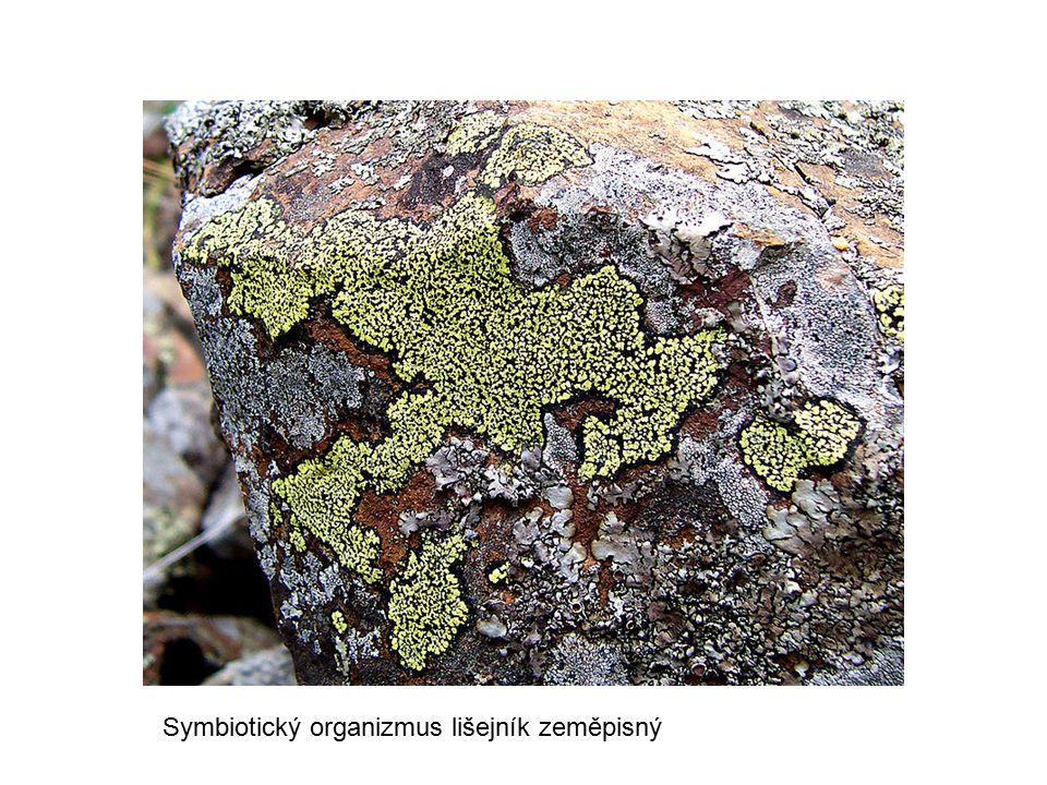 Symbiotický organizmus lišejník zeměpisný