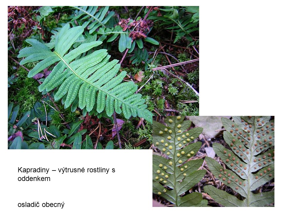 Kapradiny – výtrusné rostliny s oddenkem osladič obecný