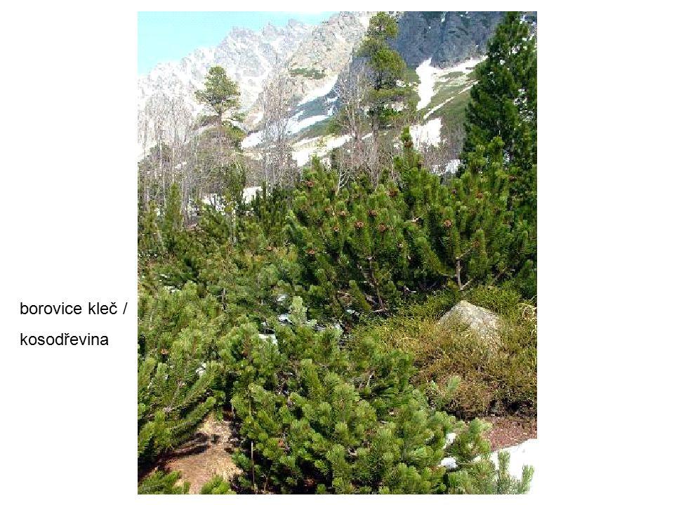 borovice kleč / kosodřevina