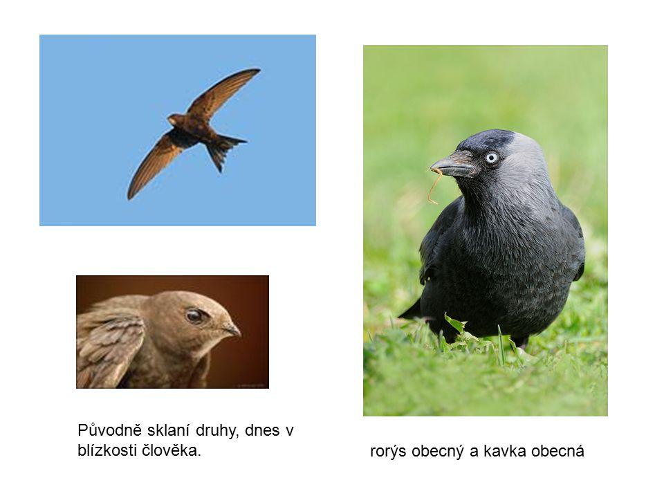 Původně sklaní druhy, dnes v blízkosti člověka. rorýs obecný a kavka obecná