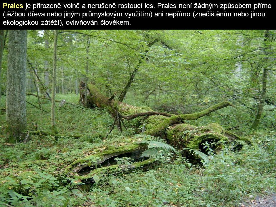 Prales je přirozeně volně a nerušeně rostoucí les.