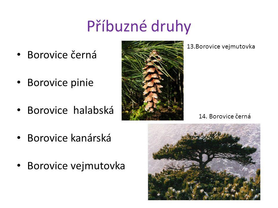 Příbuzné druhy Borovice černá Borovice pinie Borovice halabská Borovice kanárská Borovice vejmutovka 13.Borovice vejmutovka 14.