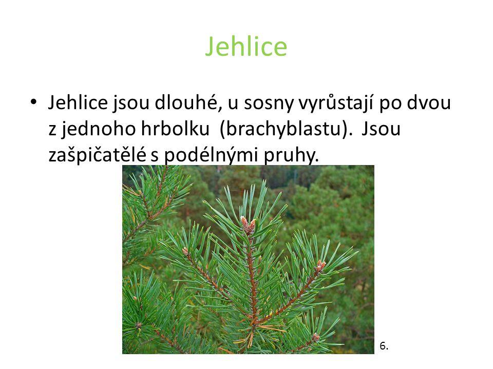 Jehlice Jehlice jsou dlouhé, u sosny vyrůstají po dvou z jednoho hrbolku (brachyblastu).