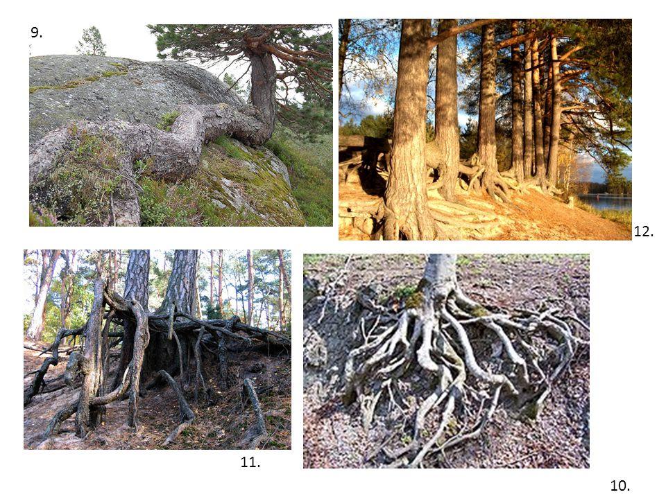 Využití Dřevo je měkké, lehké a pružné.Obsahuje hodně pryskyřice a je odolné proti vodě.