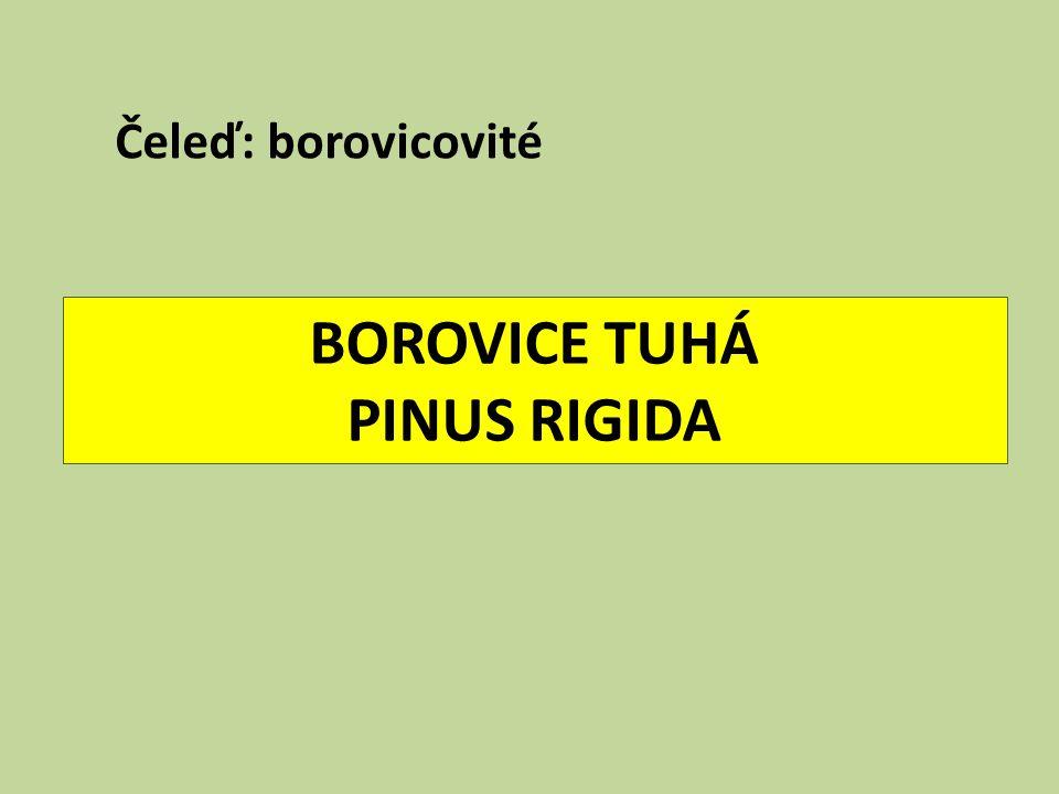 BOROVICE TUHÁ PINUS RIGIDA Čeleď: borovicovité