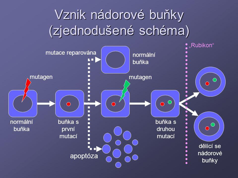 Vznik nádorové buňky (zjednodušené schéma) mutagen apoptóza mutace reparována buňka s první mutací buňka s druhou mutací dělící se nádorové buňky norm