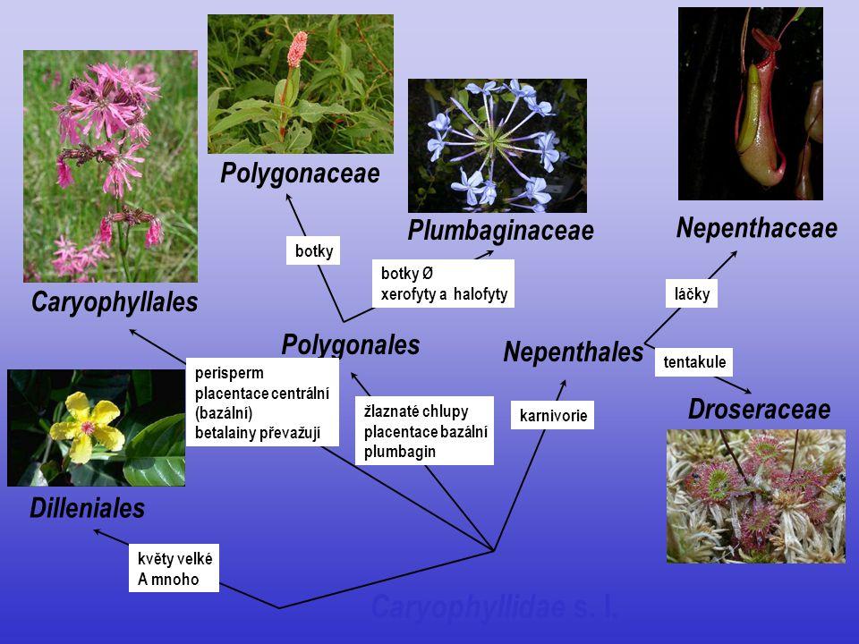 Caryophyllidae s. l. Dilleniales Caryophyllales Nepenthales Polygonales Polygonaceae Plumbaginaceae Nepenthaceae Droseraceae květy velké A mnoho peris