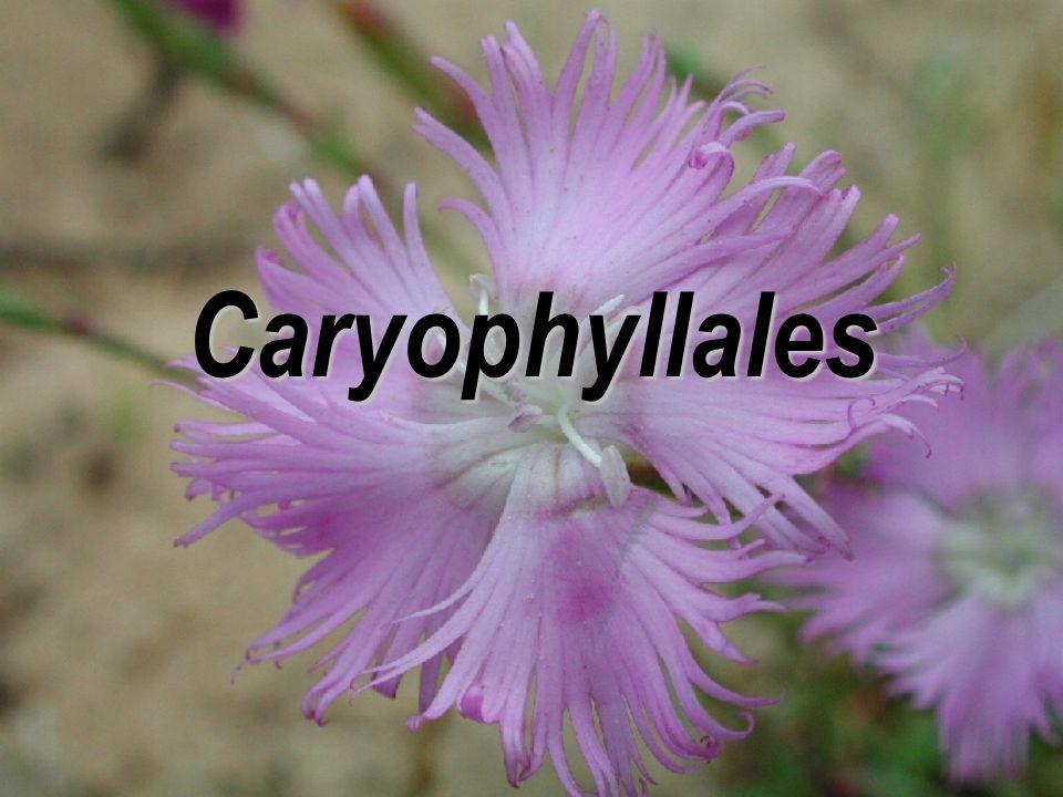 Caryophyllales