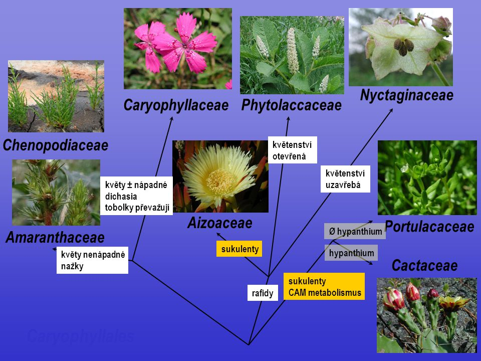 Caryophyllales Aizoaceae Nyctaginaceae Phytolaccaceae Cactaceae Portulacaceae Caryophyllaceae Amaranthaceae Chenopodiaceae květy ± nápadné dichasia to