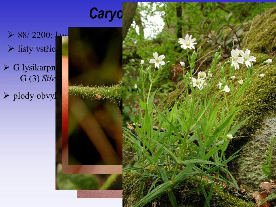 Caryophyllaceae  88/ 2200; kosmopolitní, spíše aridní oblasti  plody obvykle mnohosemenné tobolky pukající zuby  G lysikarpní (nemusí být zcela); z