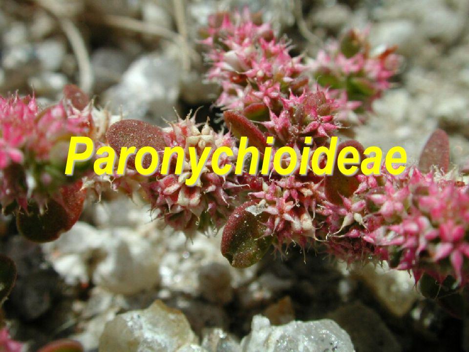 Paronychioideae