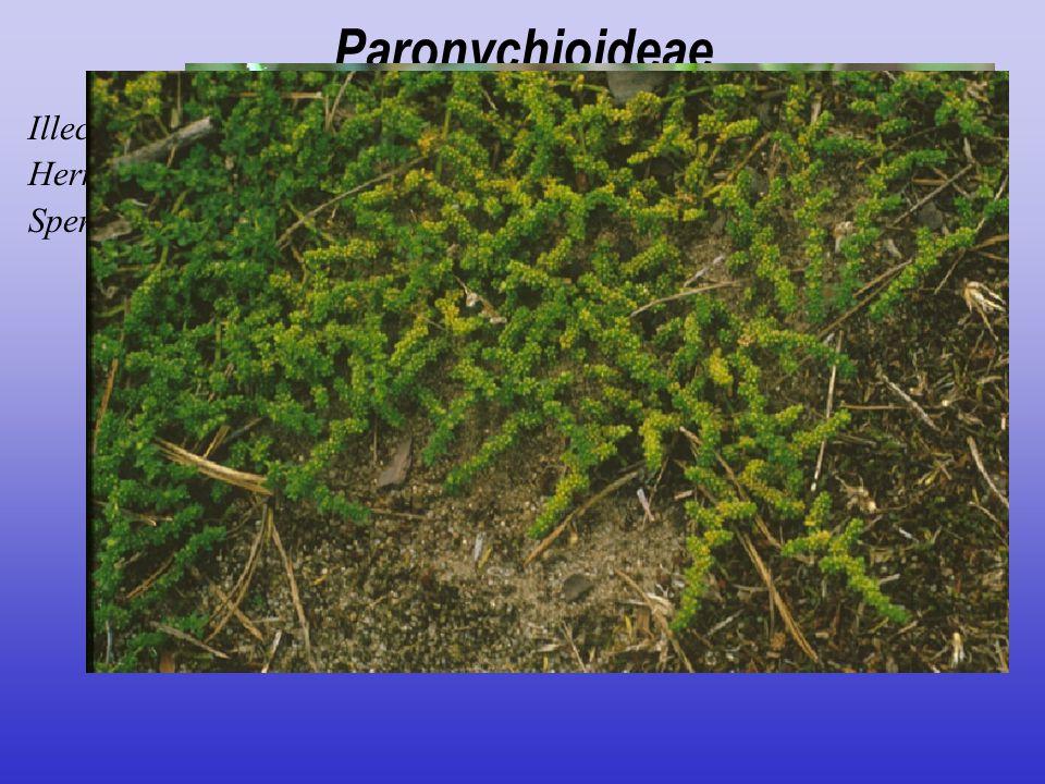 Paronychioideae Illecebrum verticillatum Herniaria glabra Spergularia rubra, Spergula arvensis