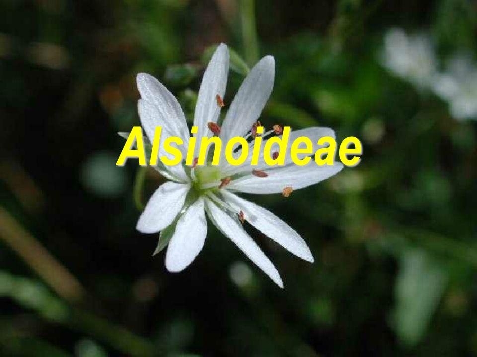 Alsinoideae