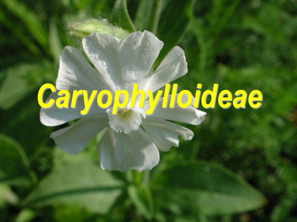 Caryophylloideae