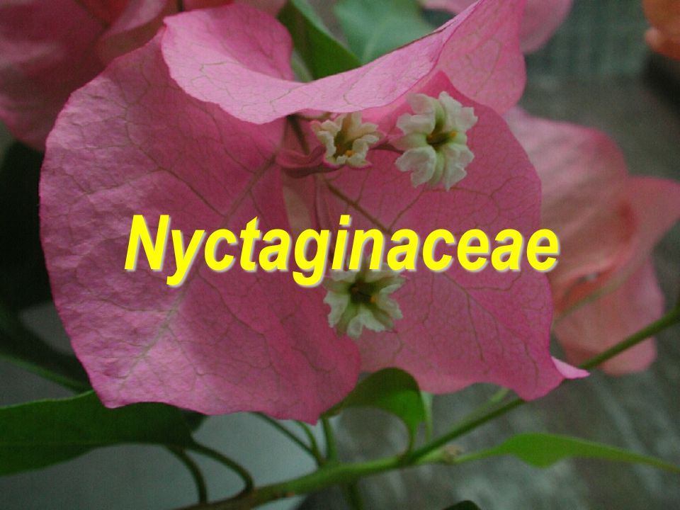 Nyctaginaceae