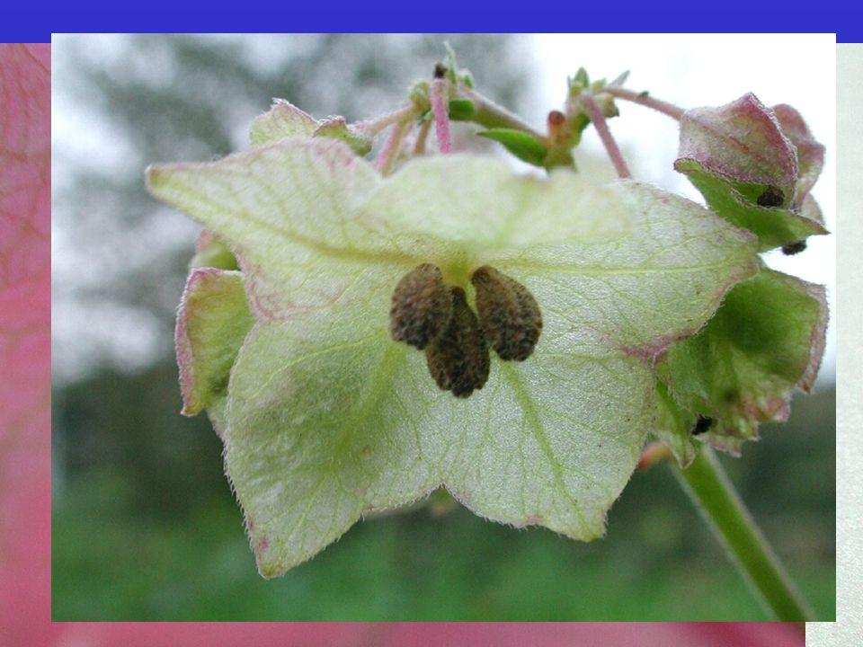  častá pseudanthia Nyctaginaceae Bougainvillea  pouze kalich, srostlý do trubky  33/300; byliny až stromy, liány; převážně tropická až subtropická