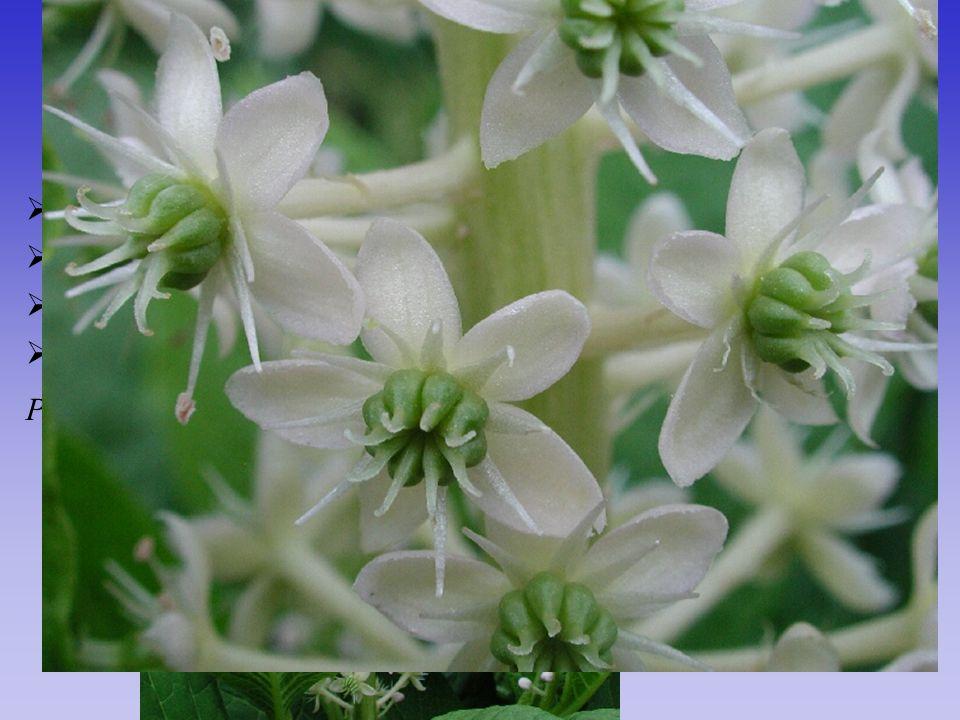 Phytolaccaceae  G ještě apokarpní Phytolacca americana  plody drobné měchýřky, které dužnatí  klasovitá květenství  17/110; tropická až subtropick