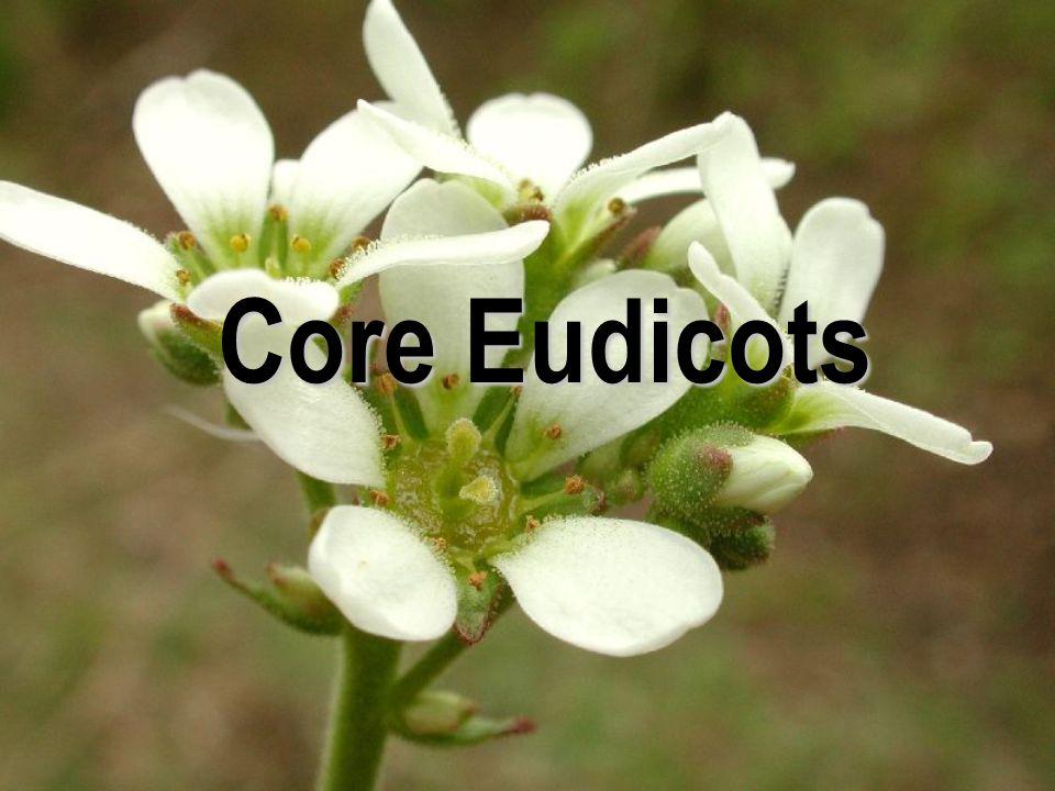  květy převážně pětičetné  K + C  A původně ve 2 kruzích (četné výjimky)  téměř 97 % Eudicots