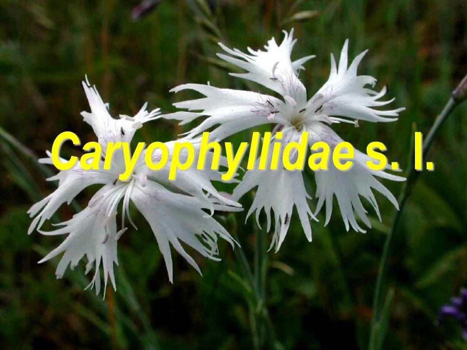 Phytolaccaceae  G ještě apokarpní Phytolacca americana  plody drobné měchýřky, které dužnatí  klasovitá květenství  17/110; tropická až subtropická čeleď