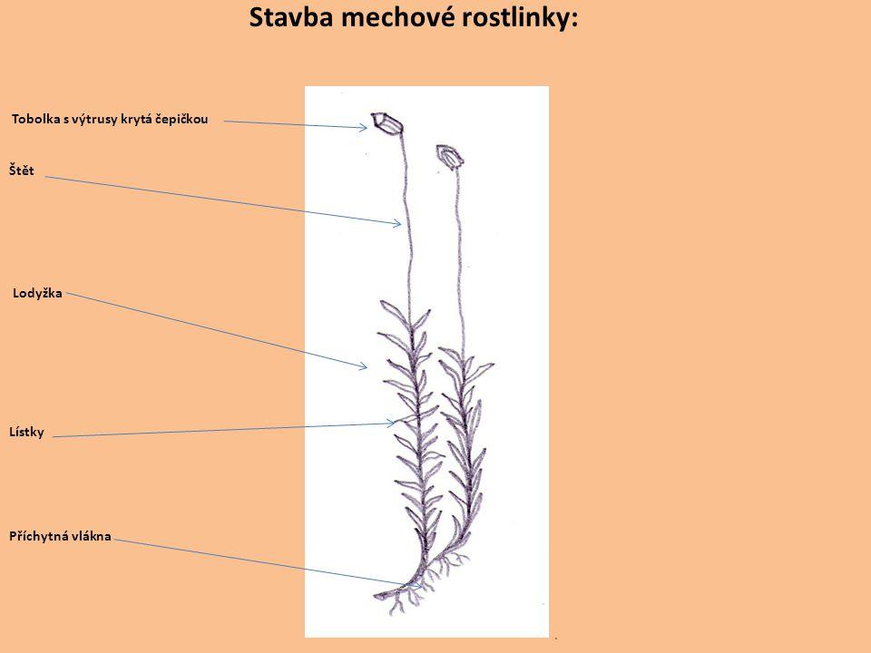 Stavba mechové rostlinky: Tobolka s výtrusy krytá čepičkou Štět Lodyžka Lístky Příchytná vlákna.