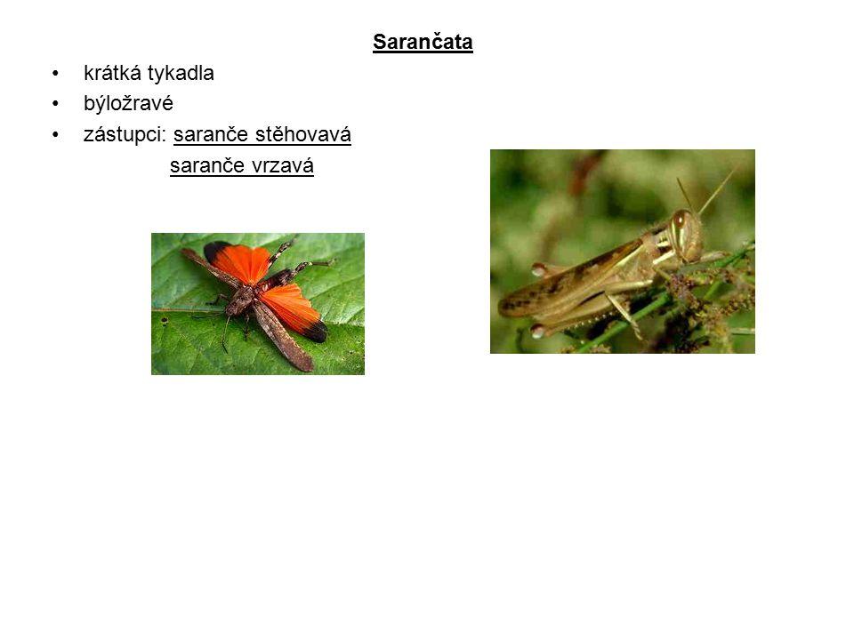 Kobylky kobylky mají dlouhá tykadla, jsou dravé zástupci: kobylka zelená cvrček polní krtonožka obecná