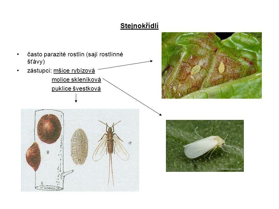 Stejnokřídlí často parazité rostlin (sají rostlinné šťávy) zástupci: mšice rybízová molice skleníková puklice švestková