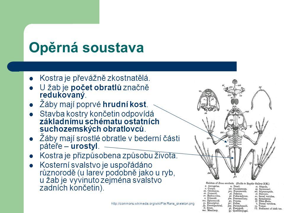Opěrná soustava Kostra je převážně zkostnatělá. U žab je počet obratlů značně redukovaný. Žáby mají poprvé hrudní kost. Stavba kostry končetin odpovíd