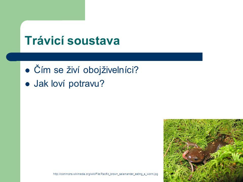 Trávicí soustava Čím se živí obojživelníci? Jak loví potravu? http://commons.wikimedia.org/wiki/File:Pacific_brown_salamander_eating_a_worm.jpg