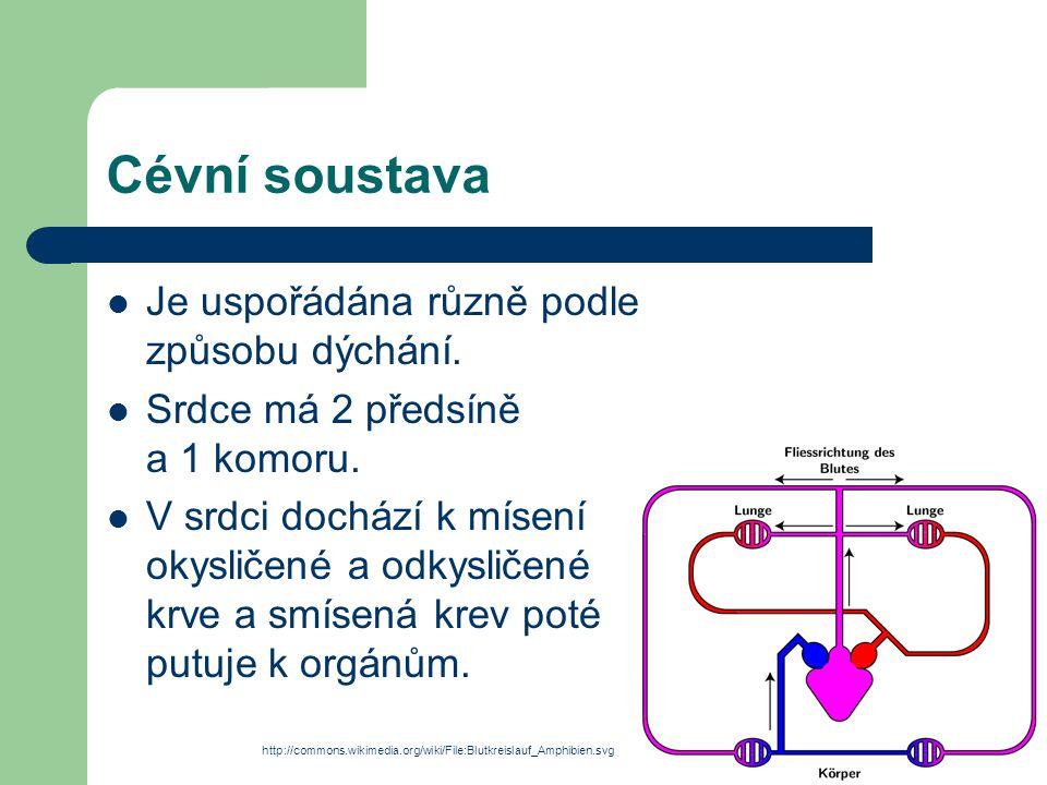 Cévní soustava Je uspořádána různě podle způsobu dýchání. Srdce má 2 předsíně a 1 komoru. V srdci dochází k mísení okysličené a odkysličené krve a smí